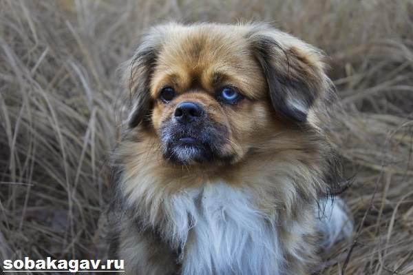 Тибетский-спаниель-собака-Описание-особенности-уход-и-цена-породы-5
