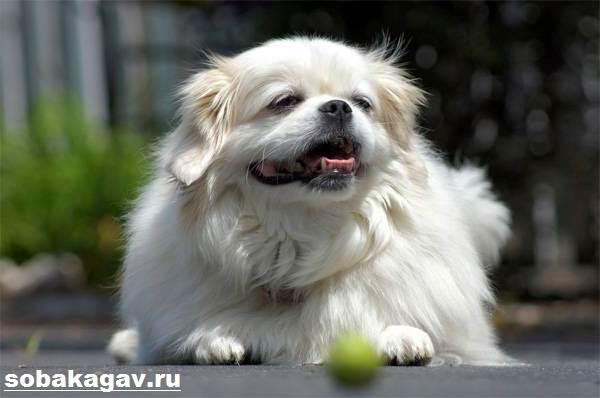 Тибетский-спаниель-собака-Описание-особенности-уход-и-цена-породы-6
