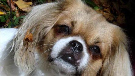 Тибетский спаниель собака. Описание, особенности, уход и цена породы