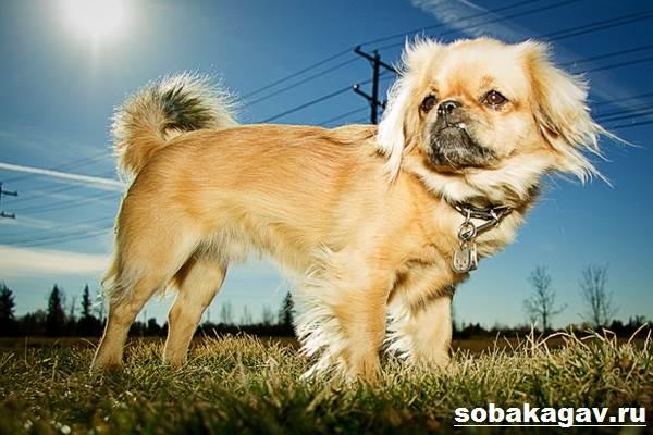 Тибетский-спаниель-собака-Описание-особенности-уход-и-цена-породы-9