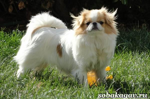 Японский-хин-собака-Описание-особенности-уход-и-цена-японского-хина-1
