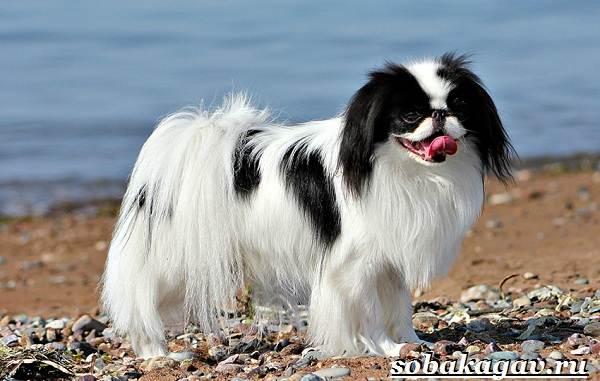 Японский-хин-собака-Описание-особенности-уход-и-цена-японского-хина-10