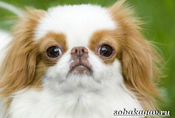 Японский-хин-собака-Описание-особенности-уход-и-цена-японского-хина-2