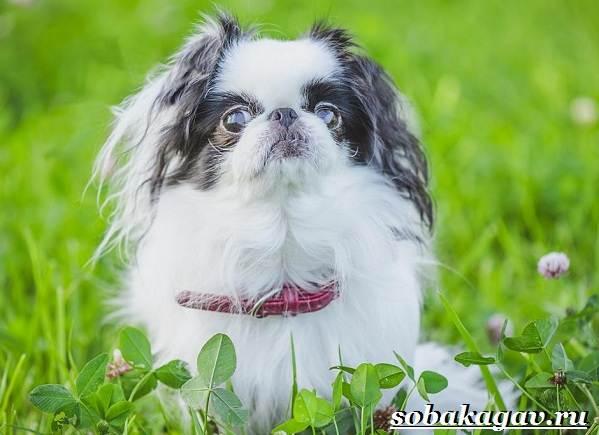 Японский-хин-собака-Описание-особенности-уход-и-цена-японского-хина-3