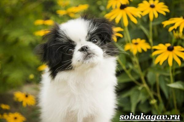 Японский-хин-собака-Описание-особенности-уход-и-цена-японского-хина-4