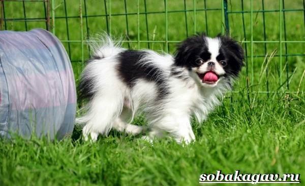 Японский-хин-собака-Описание-особенности-уход-и-цена-японского-хина-6
