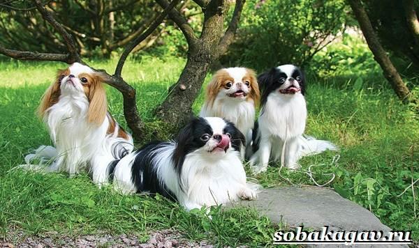 Японский-хин-собака-Описание-особенности-уход-и-цена-японского-хина-7