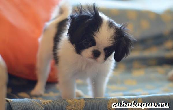 Японский-хин-собака-Описание-особенности-уход-и-цена-японского-хина-8