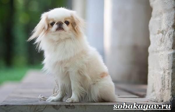 Японский-хин-собака-Описание-особенности-уход-и-цена-японского-хина-9