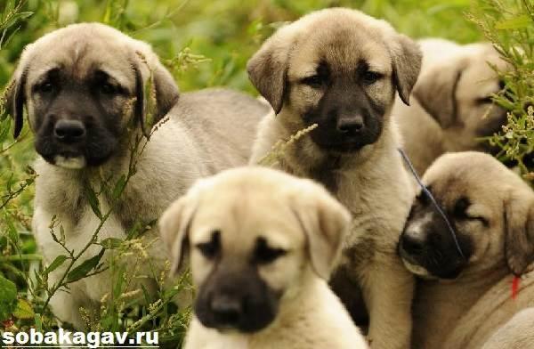 Анатолийская-овчарка-собака-Описание-особенности-уход-и-цена-породы-1