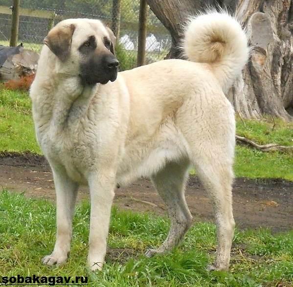 Анатолийская-овчарка-собака-Описание-особенности-уход-и-цена-породы-4