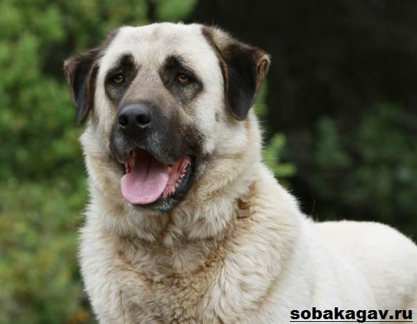 Анатолийская-овчарка-собака-Описание-особенности-уход-и-цена-породы-9