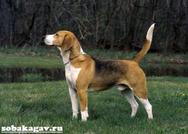 Харьер-собака-Описание-особенности-уход-и-цена-харьера-1