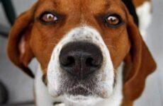 Харьер собака. Описание, особенности, уход и цена харьера