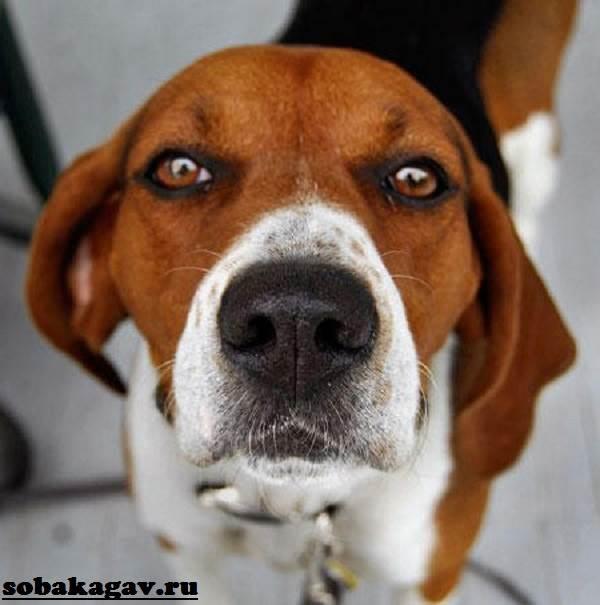 Харьер-собака-Описание-особенности-уход-и-цена-харьера-10