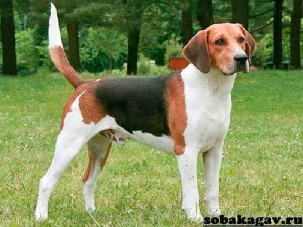 Харьер-собака-Описание-особенности-уход-и-цена-харьера-2
