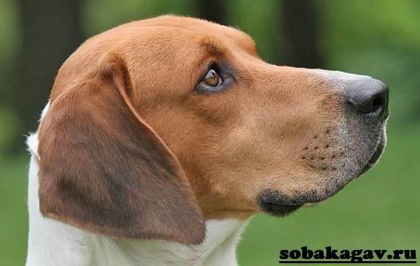 Харьер-собака-Описание-особенности-уход-и-цена-харьера-6