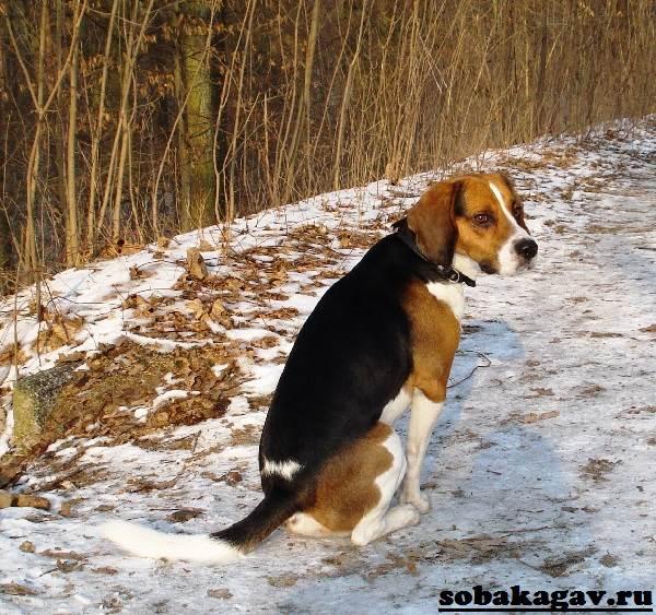 Харьер-собака-Описание-особенности-уход-и-цена-харьера-7