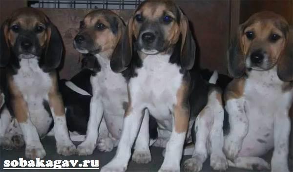 Харьер-собака-Описание-особенности-уход-и-цена-харьера-9