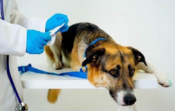 Кастрация-собак-Плюсы-минусы-и-в-каком-возрасте-можно-делать-2