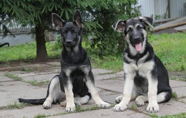 Кастрация-собак-Плюсы-минусы-и-в-каком-возрасте-можно-делать-3