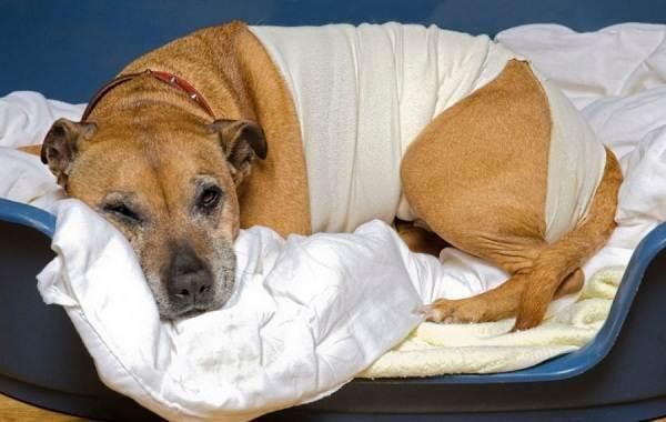 Кастрация-собак-Плюсы-минусы-и-в-каком-возрасте-можно-делать-4